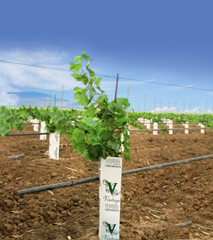 The Nursery An Industry Leader Located In Wasco California Is One Of North America S Largest Grapevine Nurseries