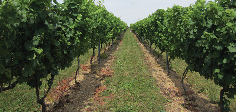 Impacts Of Under Trellis Cover Crops Wines Amp Vines