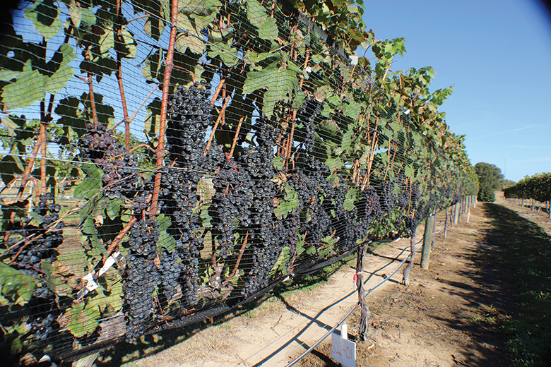 New Vines Are Changers In Alabama