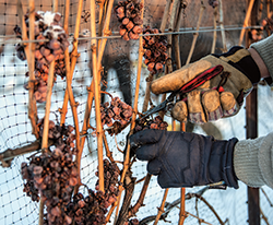 Grapes for ice wine