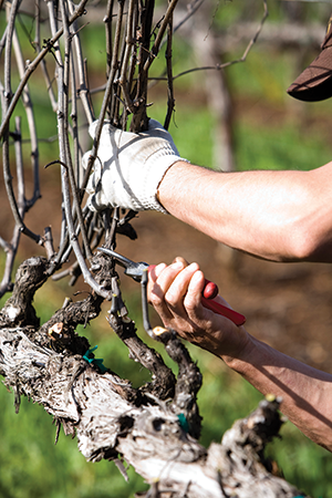 Vineyard worker pruning