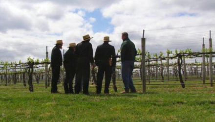 pennsylvania amish vineyard workers