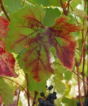 vineyard grape grapevine red blotch