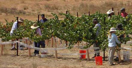 vineyard labor