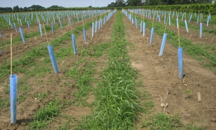 glyphosate vineyard
