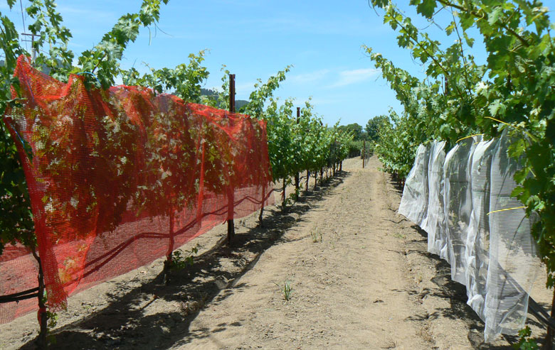 Researchers Study Colored Shade Nets on Grapes - Wines Vines