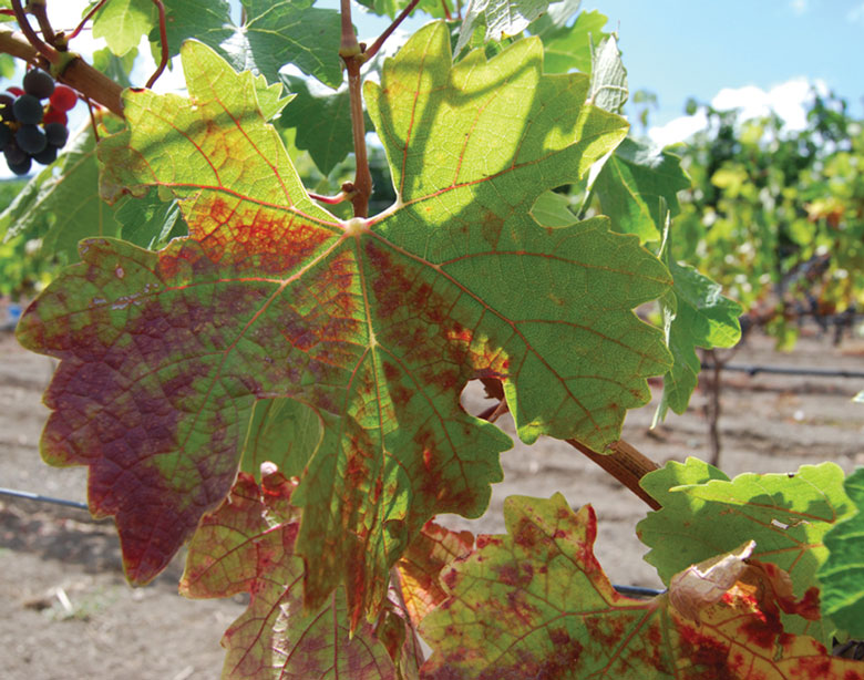 wine grape vineyard red blotch virus