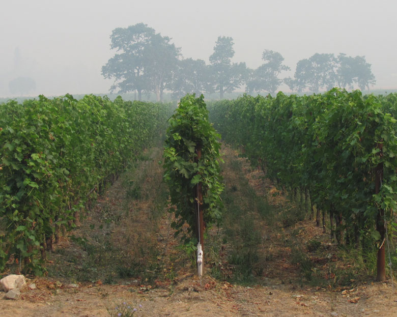 wine grapes vineyard northwest smoke