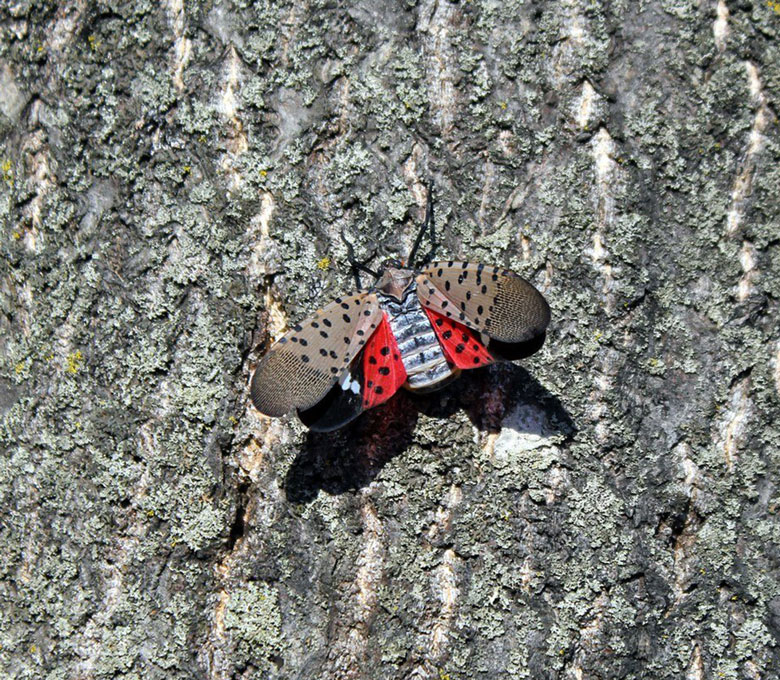 wine  vineyard winery spotted lanternfly