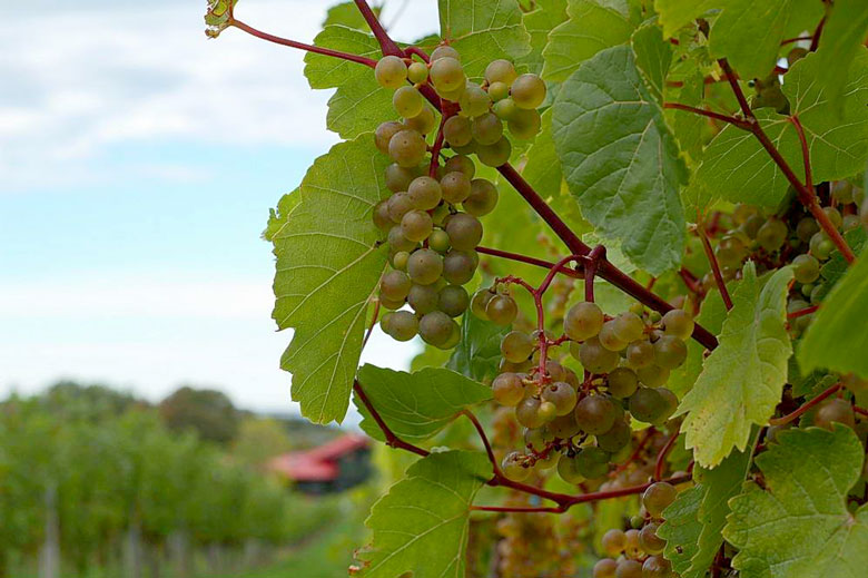 wine vineyard grapes nova scotia L'Acadie Blanc