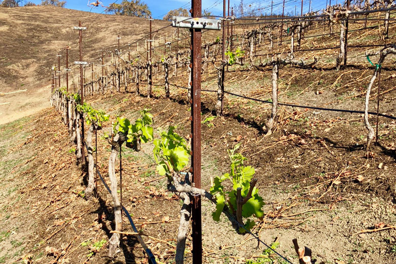 wine ojai vineyard bud break growing season