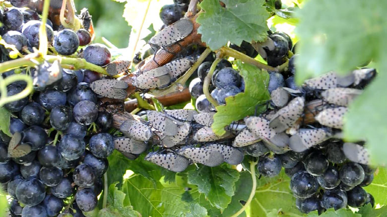 wine grape spotted lanternfly vineyard