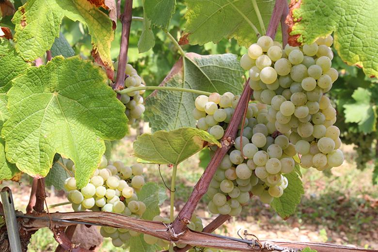 Гибриды винограда для вина