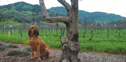Winery Dog Sniffs Out TCA
