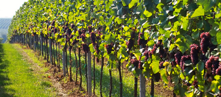 Busting Vineyard Myths