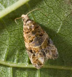 European Grapevine Moth