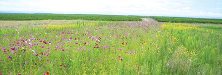 cover crop wildflowers