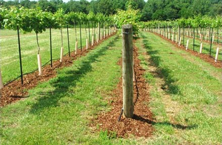 alabama vineyard