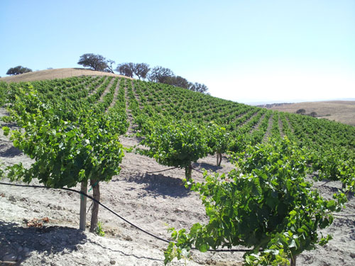Prime Petite Sirah Wine; Head-Trained Vines